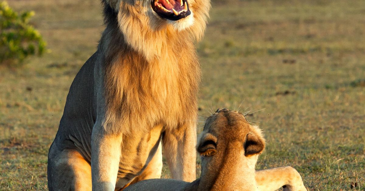 Grinning lion looks extremely pleased with himself as he mates with a lioness