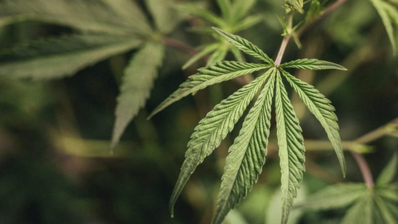 New Zealand to hold cannabis referendum in 2020