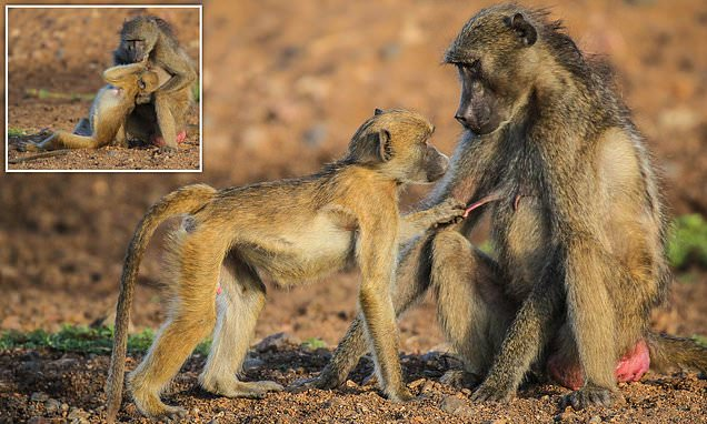 Cheeky baby baboon givse its mother a nipple twister