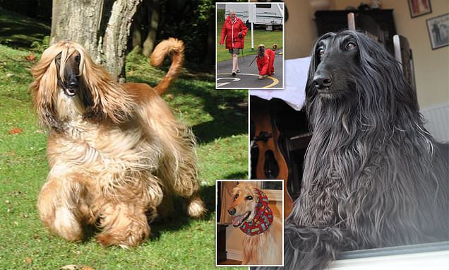 Grandparents spend eight HOURS a week bathing their FOUR Aghan Hounds