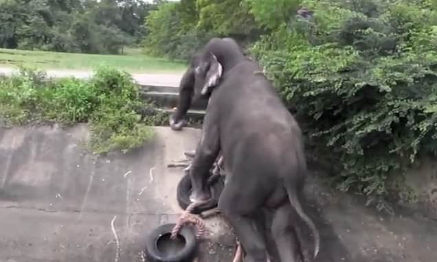Trapped elephant clambers out of canal after rescuers throw it ladder
