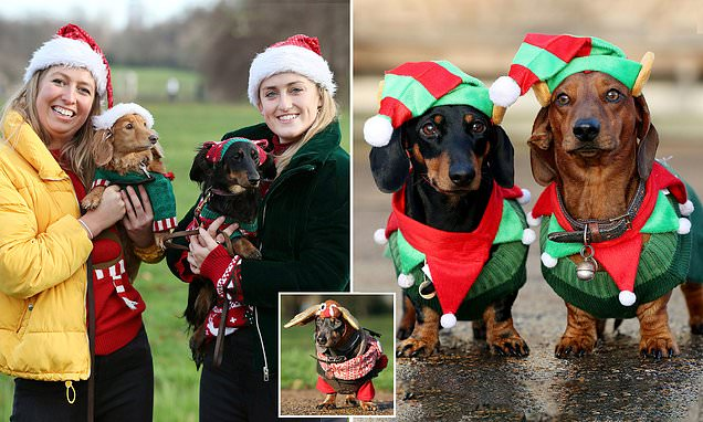 Sausage dogs and their owners dress up in their festive finery