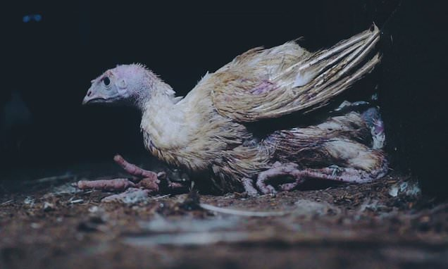 Horrifying footage shows deformed turkeys struggling to walk at farm
