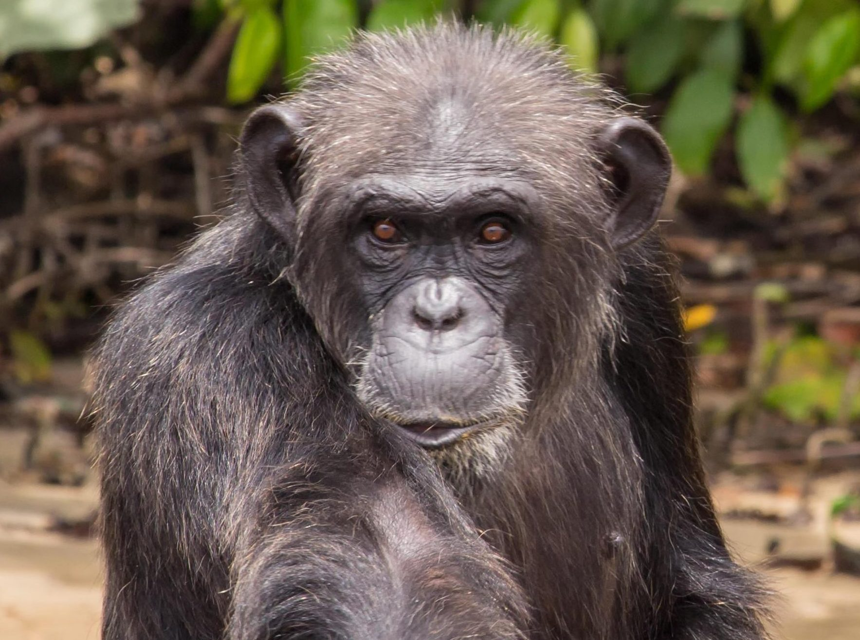 The secret African island inhabited by super aggressive 'monster' chimps released from US labs