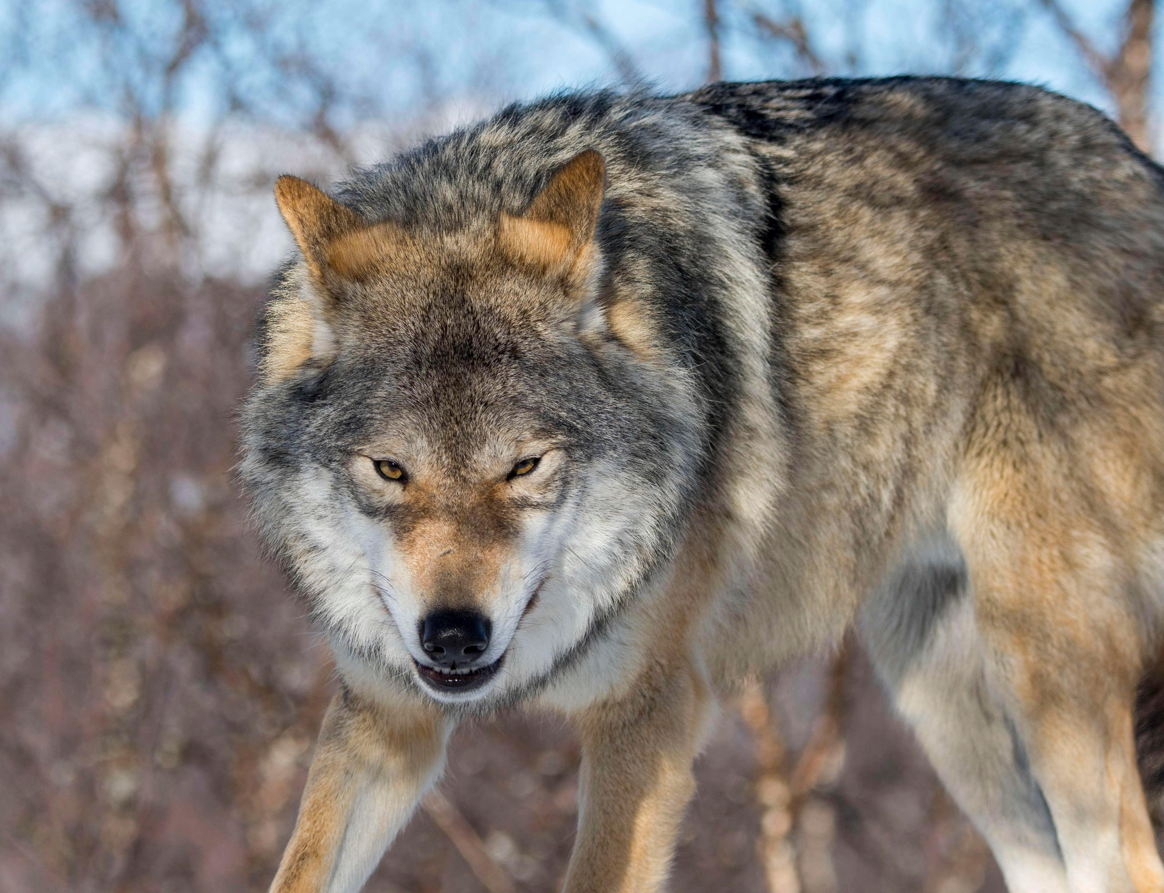 Chernobyl wolves infected with radiation feared to be spreading mutant genes across Europe