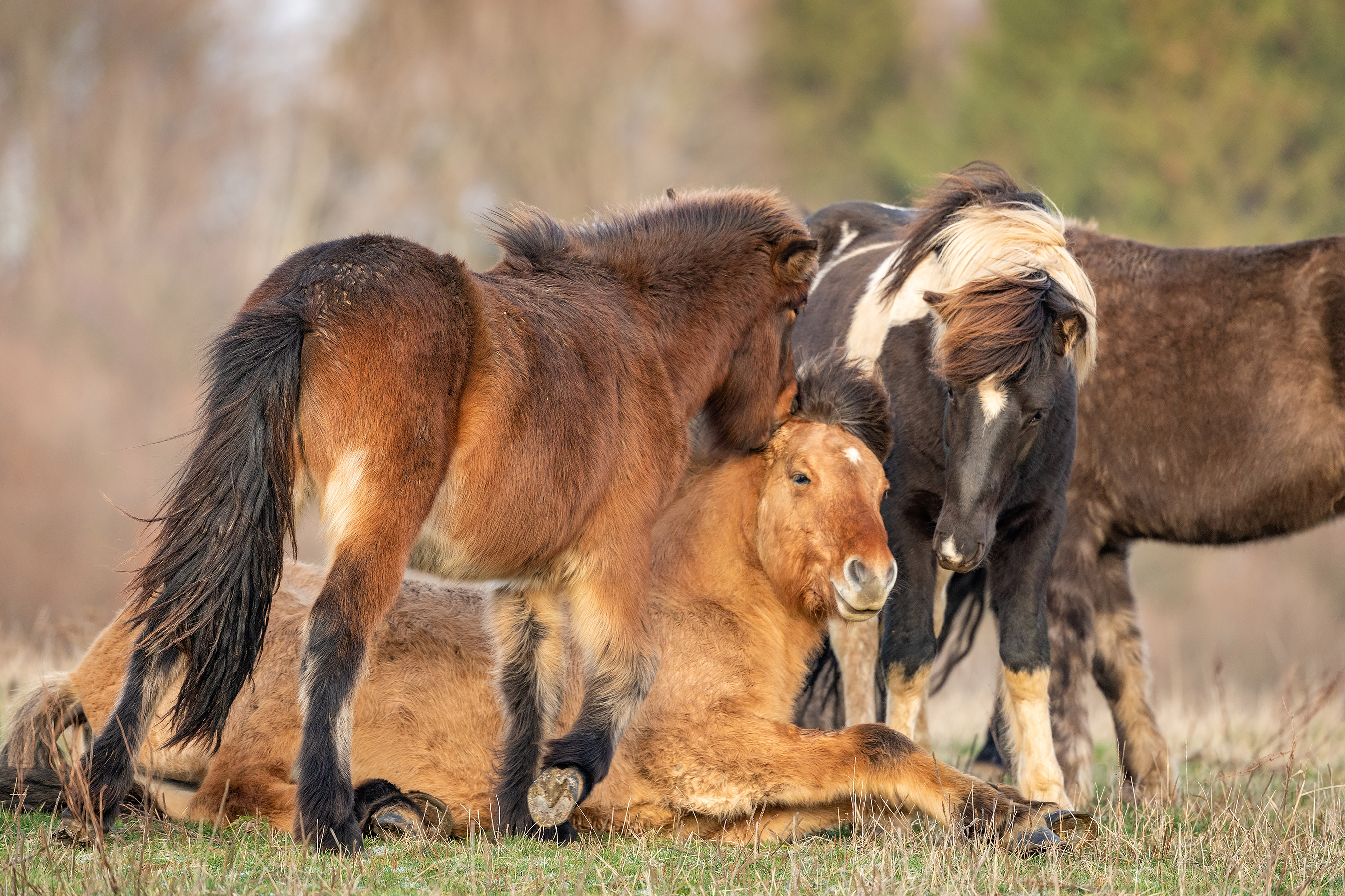 Wild Horses Team Up to Help Revive Fallen 2-Year-Old Stallion by Affectionately Biting Him (PHOTOS)