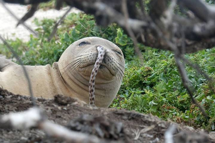 Oh, nose!: Monk seals are getting eels stuck up their snouts and nobody knows why