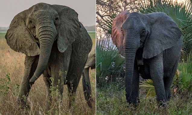 Elephants have EVOLVED to not grow tusks in Mozambique national park
