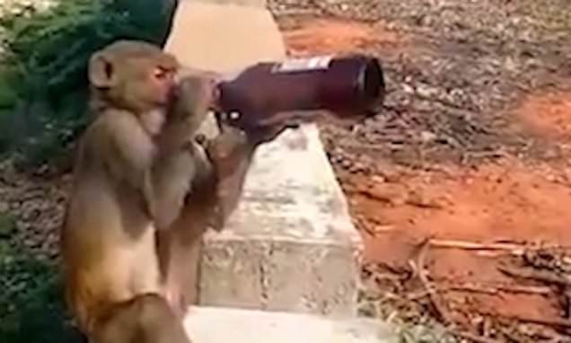 Monkey steals bottle of beer from tourist and then swigs it down