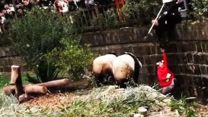 Dramatic rescue of girl, five, after she falls into panda enclosure at zoo