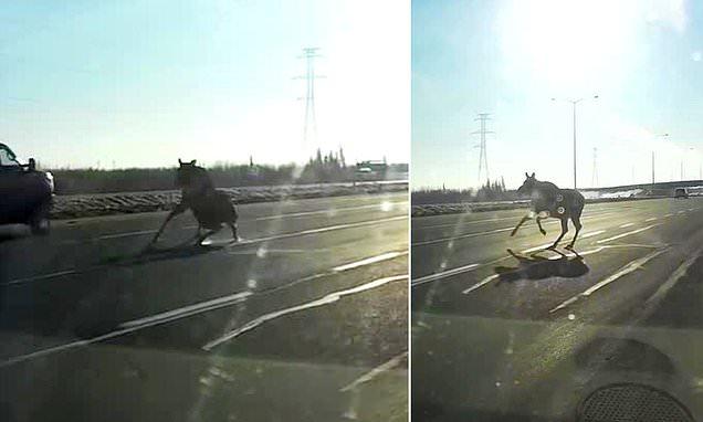 Video shows moose sliding between speeding cars across Canadian road