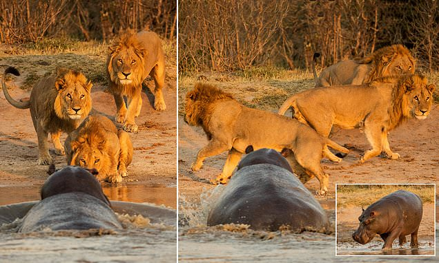 Huge hippo charges at pride of thirsty lions in Botswana park