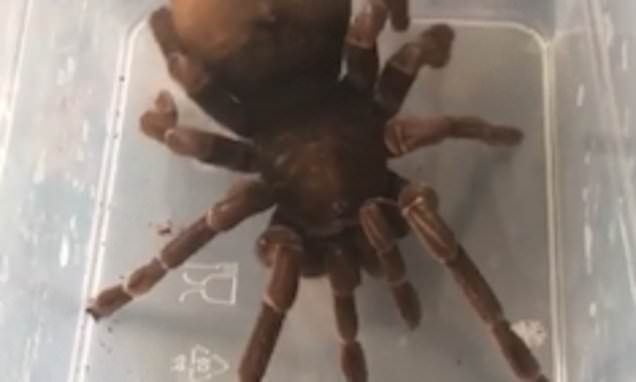 Stressed-out pregnant tarantula twerks as owner tries to re-house it