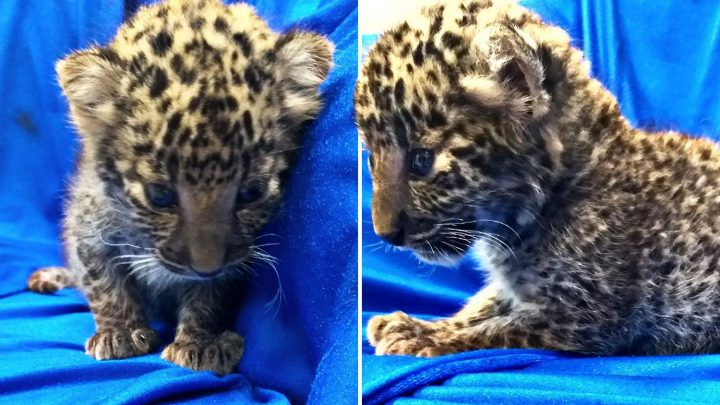 Airline passenger arrested after four-week-old leopard cub found in his HAND LUGGAGE at Indian airport