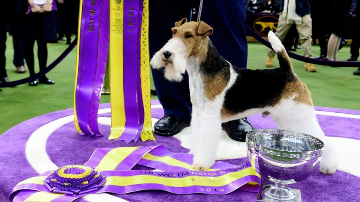 Meet King, The Adorable Winner Of This Year's Westminster Dog Show
