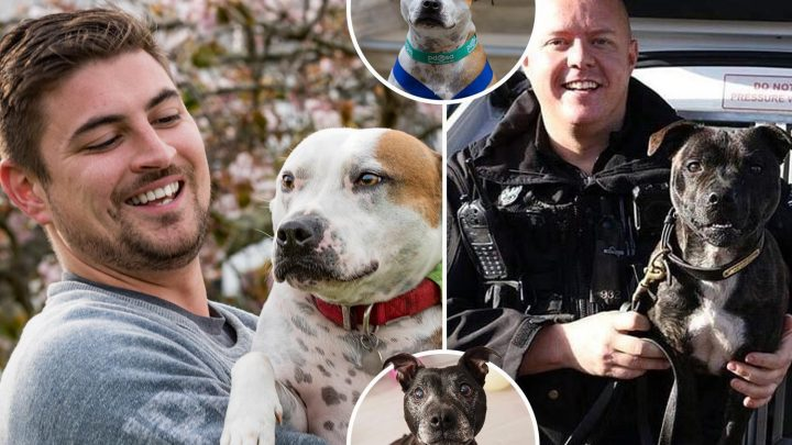 The four hero hounds showing us why the Staffordshire bull terrier is Britain's top dog