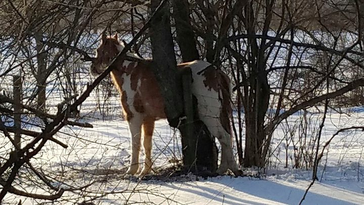 Indiana chainsaw rescue: Town marshal frees horse wedged between tree branches