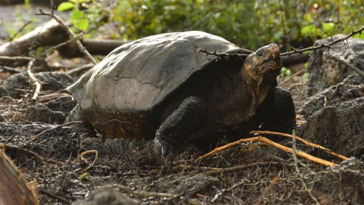 Tortoise thought to be extinct for more than 100 years discovered in Galapagos Islands