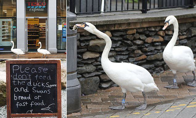 Swans waddle into town to raid bins for junk food at Lake Windermere
