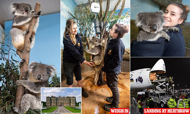 Longleat Safari Park koalas from Down Under sleep for 21 hours a day