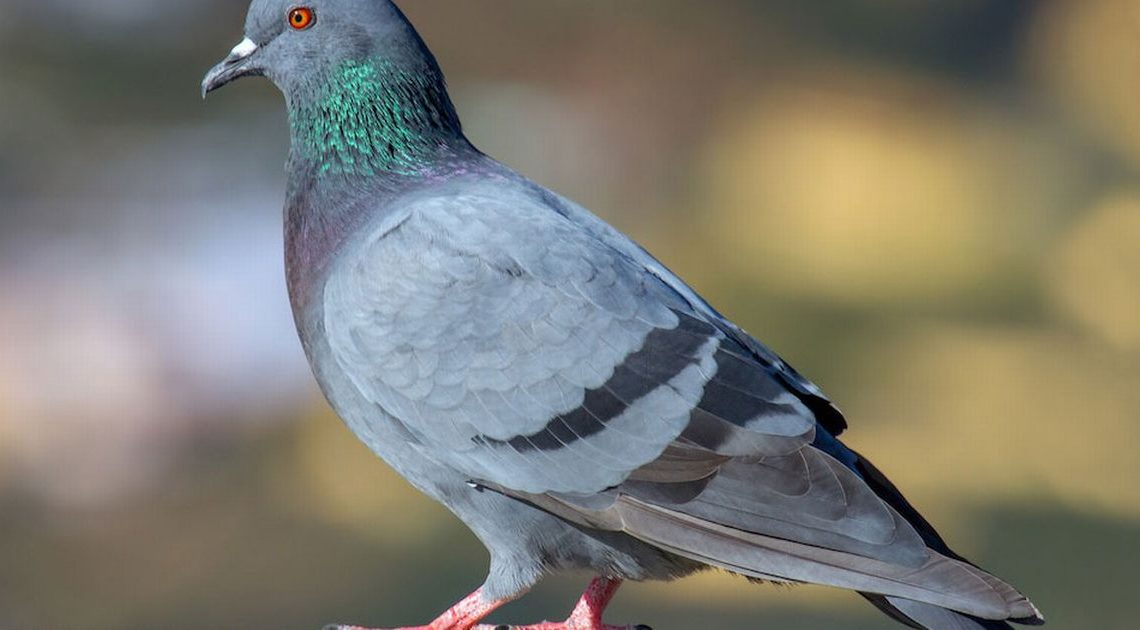 Woman puzzled after spotting two pigeons in living room watching her eat dinner