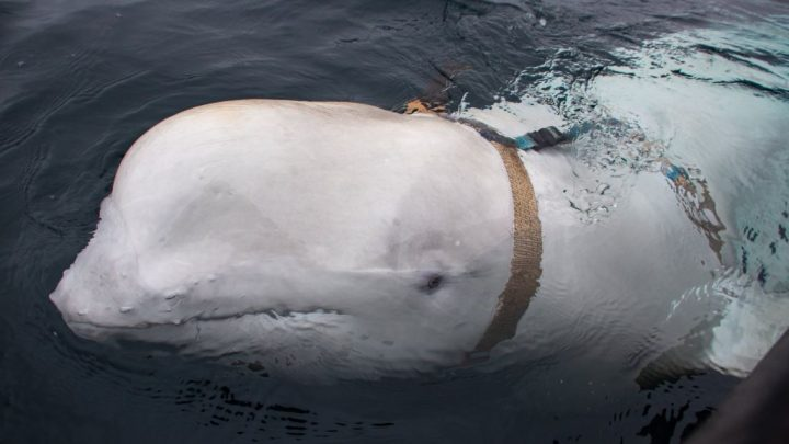 'Spy' beluga whale fitted with Russian military camera harness found swimming off Norway
