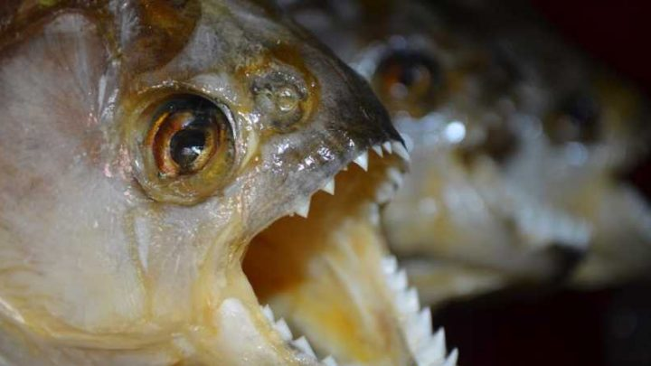 Piranhas Found In Lake Where Children Play & Ducks Have Been Disappearing From