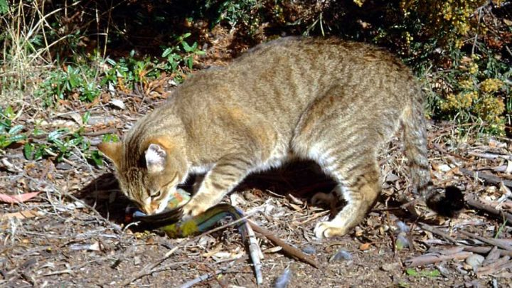 Australia is killing millions of feral cats with poisoned sausages