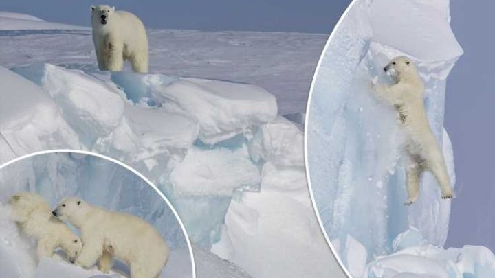 Polar bear scrambles down an ice shaft to rescue her cub after he gets lost