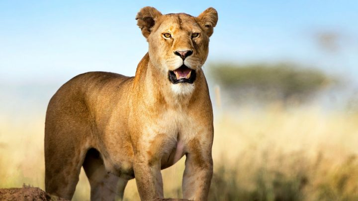 Girl, 4, has 'scalp ripped off and skull clawed' by lioness through fence