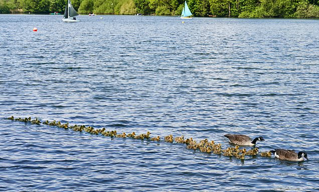 Proud Canada Geese parents take more than 50 chicks for a swim