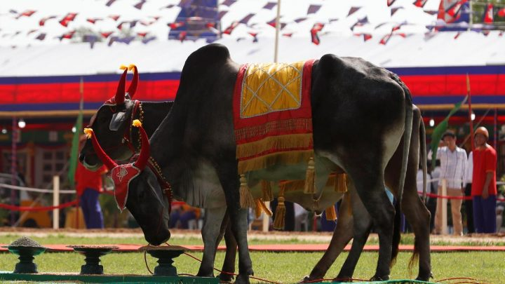 Cambodia's royal oxen predict plentiful rice harvest amid EU tariffs