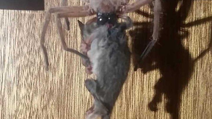 Massive Huntsman Spider Eats a Possum in Front of Horrified Ski Lodge Guest