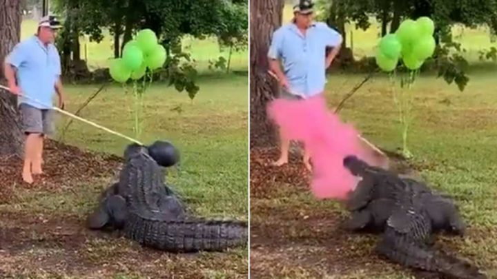 Florida couple uses pet alligator to reveal 10th child's gender