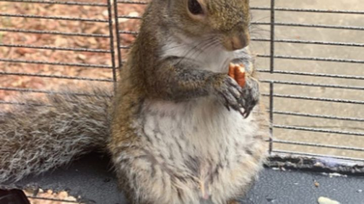 Man Raised His Own 'Attack Squirrel' — Police Say He Was Feeding It Meth!