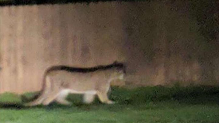 Washington cougar attack on child thwarted by family's dogs, official says