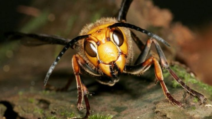 Asian hornet warning: Hundreds of killer insects set to plague the UK this summer