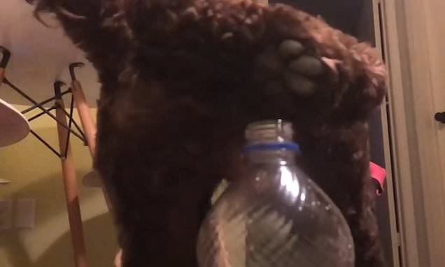 Bottle top challenge is nailed by Percy the cockapoo