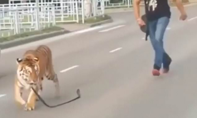 Tiger on lead jumps out of car in Russia and starts wondering streets
