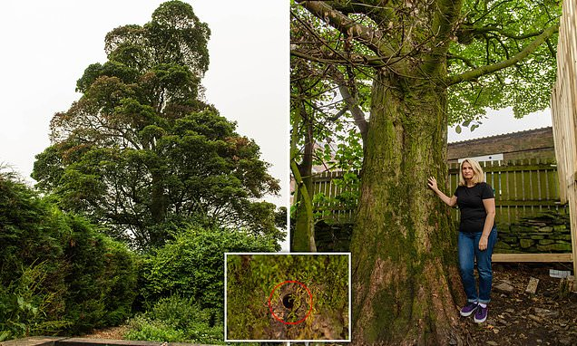 Homeowner, 51, believes a neighbour is 'killing her protected sycamore