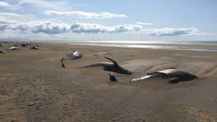 Mystery as 50 dead whales found washed up on remote beach in Iceland