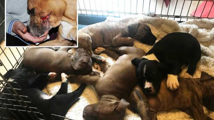 Six newborn puppies stolen by burglars who slashed their mum with machetes are found safe after cop warning they'd die without her – The Sun