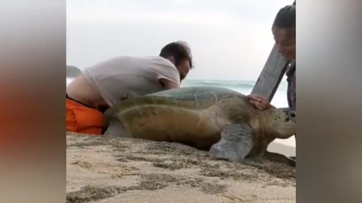 British couple save giant turtle pinned between rocks just inches from sea