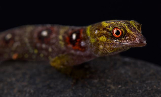 Pet ban for rare lizard after web craze