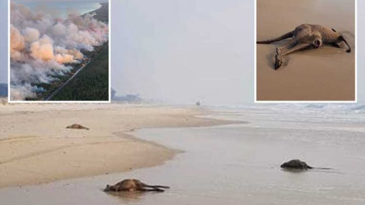 Dozens of kangaroos lie dead on beaches after fleeing into the sea to escape bushfires near Brisbane