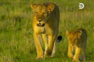 [VIDEO] Discovery's 'Serengeti': Kali and Her Cubs Are Not Welcome Back Into the Great Pride After Her Epic F– Up