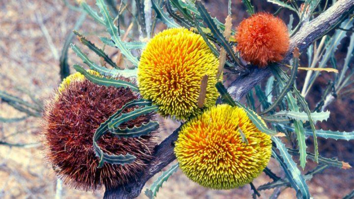 Celebrating the bush's big shots: banksias