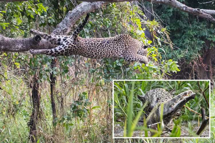 Dramatic moment jaguar KILLS 8ft crocodile after leaping into river from tree for battle to the death – The Sun
