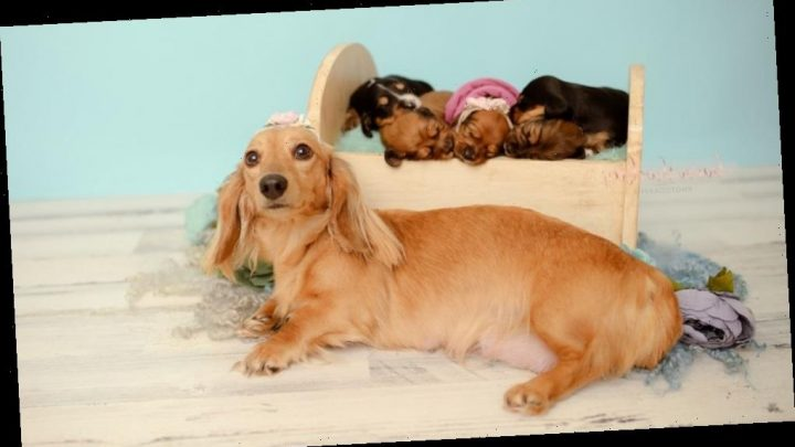 Dachshund celebrates becoming mom to 5 pups in photo shoot