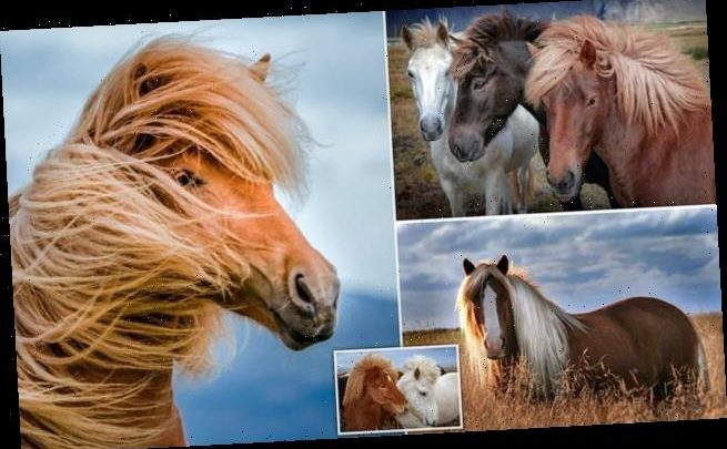 Mane attraction! Stunning horses show off their luscious locks